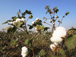 Co je to bavlna?